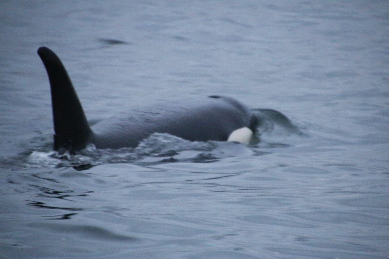 killer-whale-(orca)-after-rubbing-on-beach-below-camp-vancouver-island-2014-youth-expedition